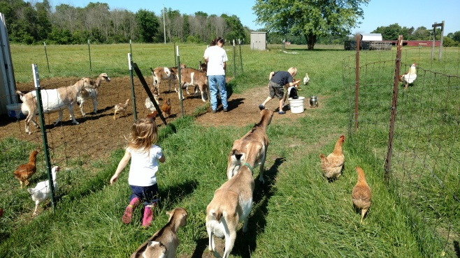 Preparing to feed to goat kids at Terre Verde Farm